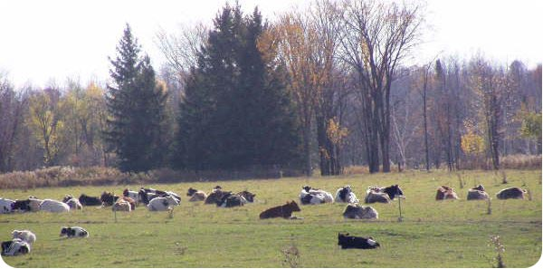 Autumn Steers in a field